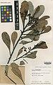 Oncotheca humboldtiana Kew K000669140.jpg