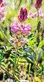 Onobrychis viciifolia in Lozere (3).jpg