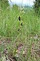 Ophrys insectifera habit.jpg