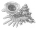 Opisthostoma everettii shell.png