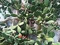 Opuntia littoralis - Kew 1.jpg