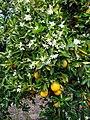 Orange Blossoms, Prospect Park 4-2012 (7042654613).jpg