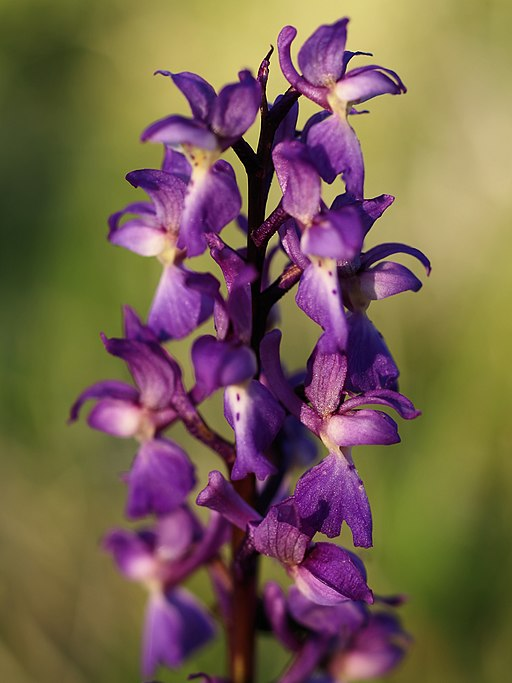 Orchis mascula (flowers)