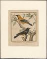 Oriolus linnaei - 1796-1799 - Print - Iconographia Zoologica - Special Collections University of Amsterdam - UBA01 IZAA100177.tif