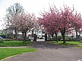 Ornamental cherry blossom at Cornwell Cottages, Hornchurch - geograph.org.uk - 1254875.jpg