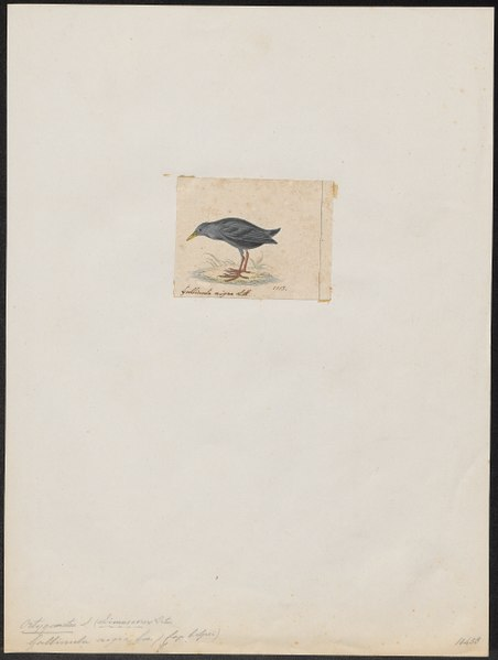 File:Ortygometra nigra - 1820-1863 - Print - Iconographia Zoologica - Special Collections University of Amsterdam - UBA01 IZ17500095.tif