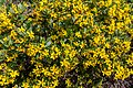 Osteospermum moniliferum, Coastal Cliffs Walkway, Canterbury, New Zealand 11.jpg