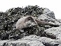 Otter at Calgary Bay (45322550964).jpg