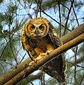 Owlet at Fort Desoto Park - Flickr - Andrea Westmoreland.jpg