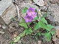 Oxalis latifolia-1-roadside-yercaud-salem-India.JPG