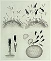 "P. Ehrlich, ""On Immunity...,"" diagrams Wellcome L0033026.jpg"