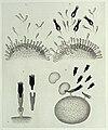 """P. Ehrlich, """"On Immunity...,"""" diagrams Wellcome L0033026.jpg"""