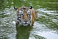 P. tigris.jpg