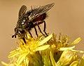 PN del Garraf - Mosca equilibrista - fly tightrope (3984733261).jpg