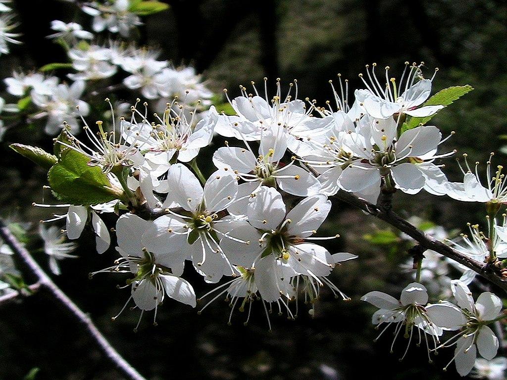 Slivka trnková (trnka) - kvety