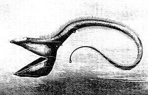 Deep sea fish - Pelican eel