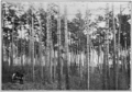 PSM V81 D541 Natural red norway pine forest on chippewa reservation in minnesota.png