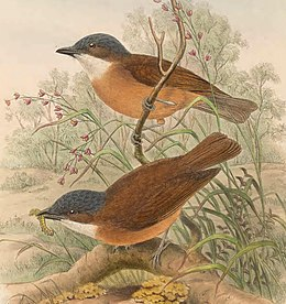 Pachycephala hyperythra - The Birds of New Guinea (cropped).jpg