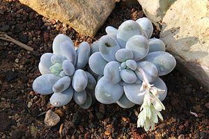 Pachyphytum - Pachyphytum oviferum