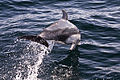 Pacific White-sided Dolphin, Pelagic Boat Trip.jpg