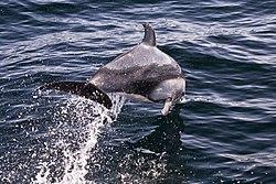 Pacific White-sided Dolphin, Pelagic Boat Trip.jpg