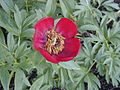 Paeonia officinalis Sunshine.jpg