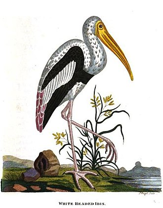 Painted stork - Illustration from Thomas Pennant's Indian Zoology (1790) based on Forster
