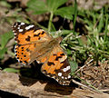 Painted Lady I IMG 6681.jpg
