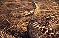 Painted Sandgrouse (Pterocles indicus) female (19607165913).jpg