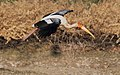Painted stork in flight, Little Rann of Kutch (16474570757).jpg