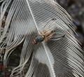 Palloptera ustulata or anderssoni - Flickr - S. Rae (1).jpg