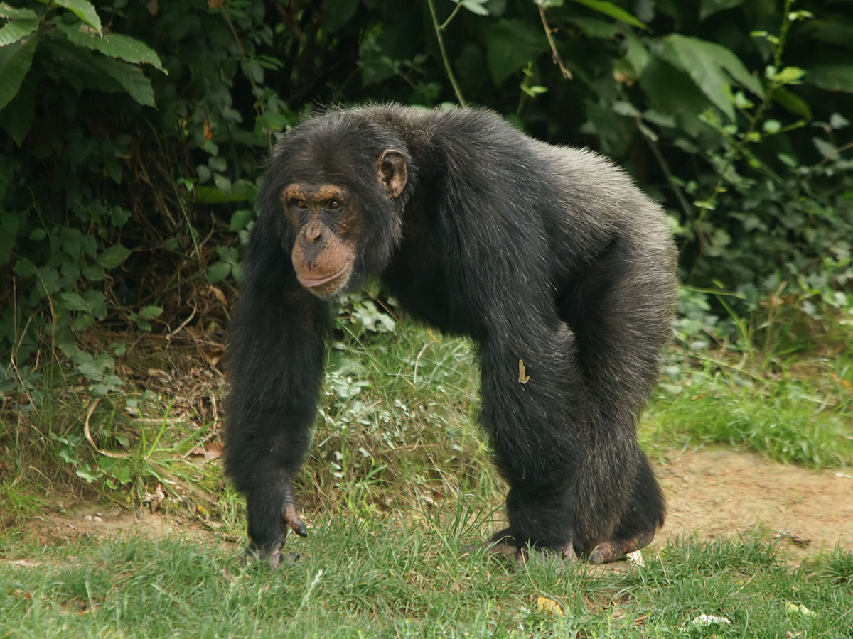 Chimpanzee pictures chimpanzees are all black but - Chimpanzee Pictures Chimpanzees Are All Black But 18