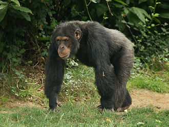 Common chimpanzee - Male in La Vallée des Singes at the Romagne, France