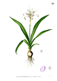 Pancratium zeylanicum Blanco2.321.png