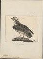 Pandion haliaëtus - 1775-1781 - Print - Iconographia Zoologica - Special Collections University of Amsterdam - UBA01 IZ18100269.tif