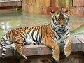 File:Panthera tigris5.ogv