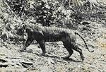 P. tigris sondaica (estinta)