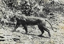 Un tigre de Java, photographié dans le parc national d'Ujung Kulon (Île de Java), en 1938