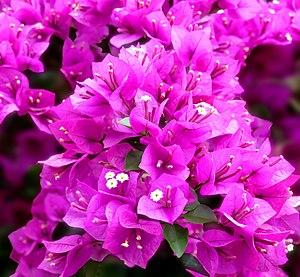 Bougainvillea glabra - Image: Paperflower Bougainvillea glabra