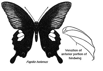 Papilio helenus - Woodcut from The Fauna of British India, Including Ceylon and Burma