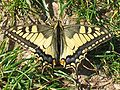 Papilio machaon 01 (HS).jpg