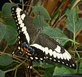 Papilio ophidicephalus the Emperor Swallowtail from Africa. - Flickr - gailhampshire.jpg
