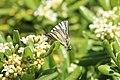 Papillon Flambé 01.jpg