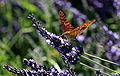 Papillon sur Lavandin by JM Rosier.JPG
