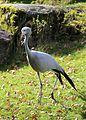Paradieskranich Anthropoides paradisea Tierpark Hellabrunn-12.jpg
