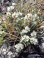 Paronychia cephalotes sl3.jpg