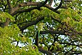 Parrot in tree near Iolani Palace (9180179981).jpg