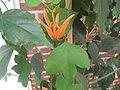 Passiflora aurantia2.jpg