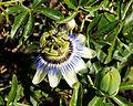 Passiflora caerulea, A Guarda, 03.jpg