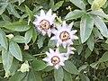 Passiflora caerulea flowers.jpg